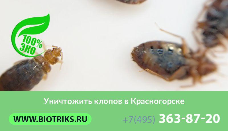 Уничтожение и травля клопов в Красногорске Московской области с обработкой квартир и домов